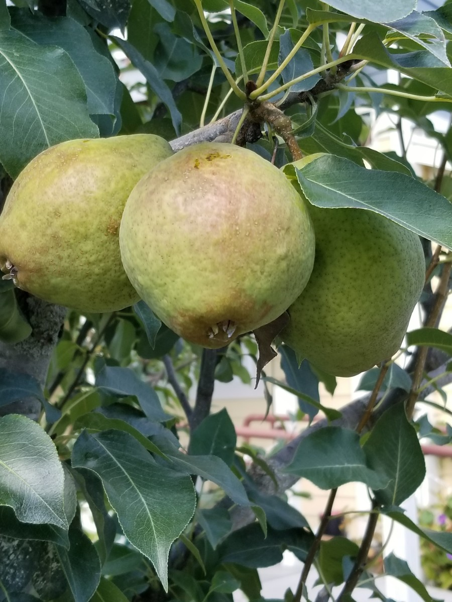 Trio of ripe pears weighing down a tree branch in my neighbor's front yard (same one with the apple tree)