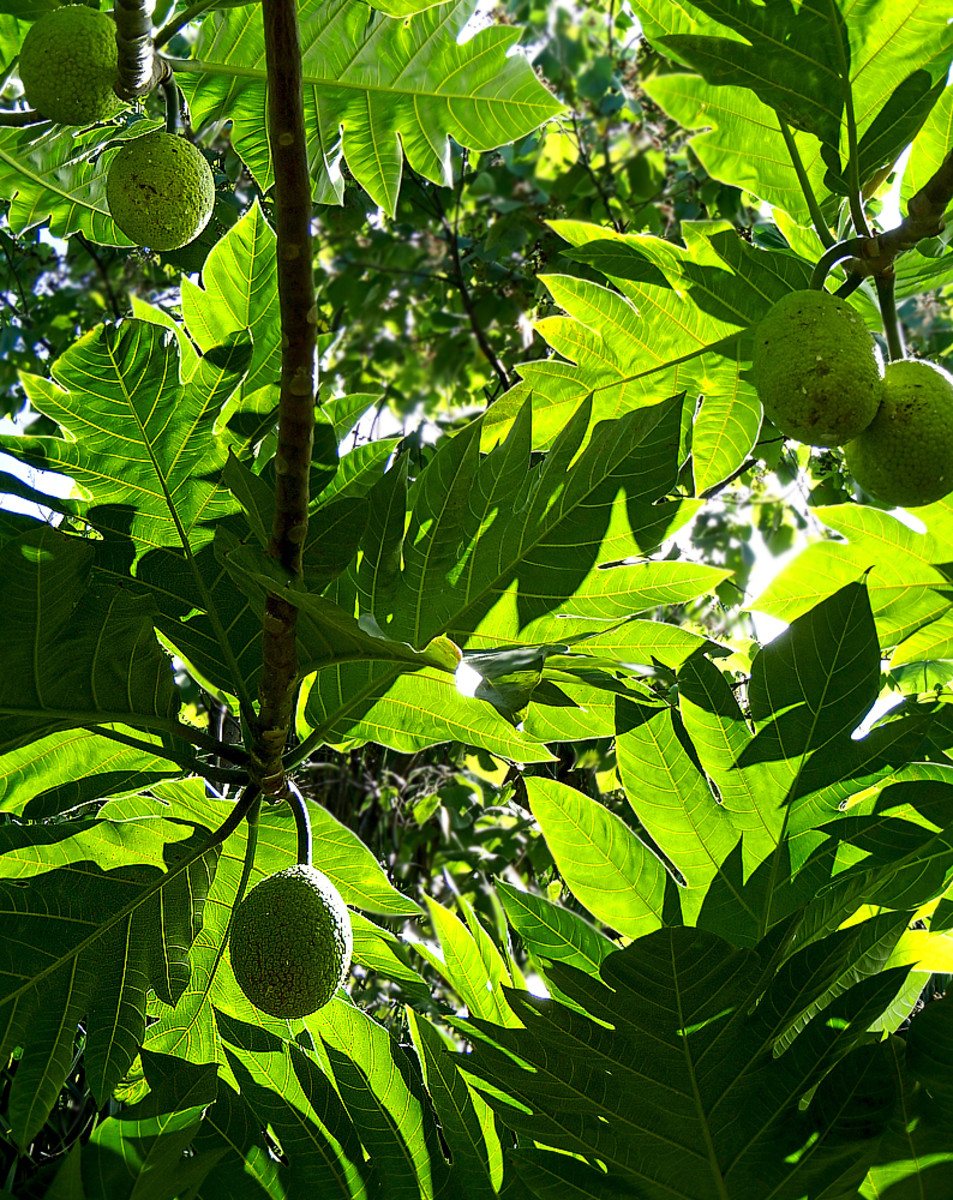 'Ulu is a spectacular fruit tree growing in many gardens and parks in Hawaii.