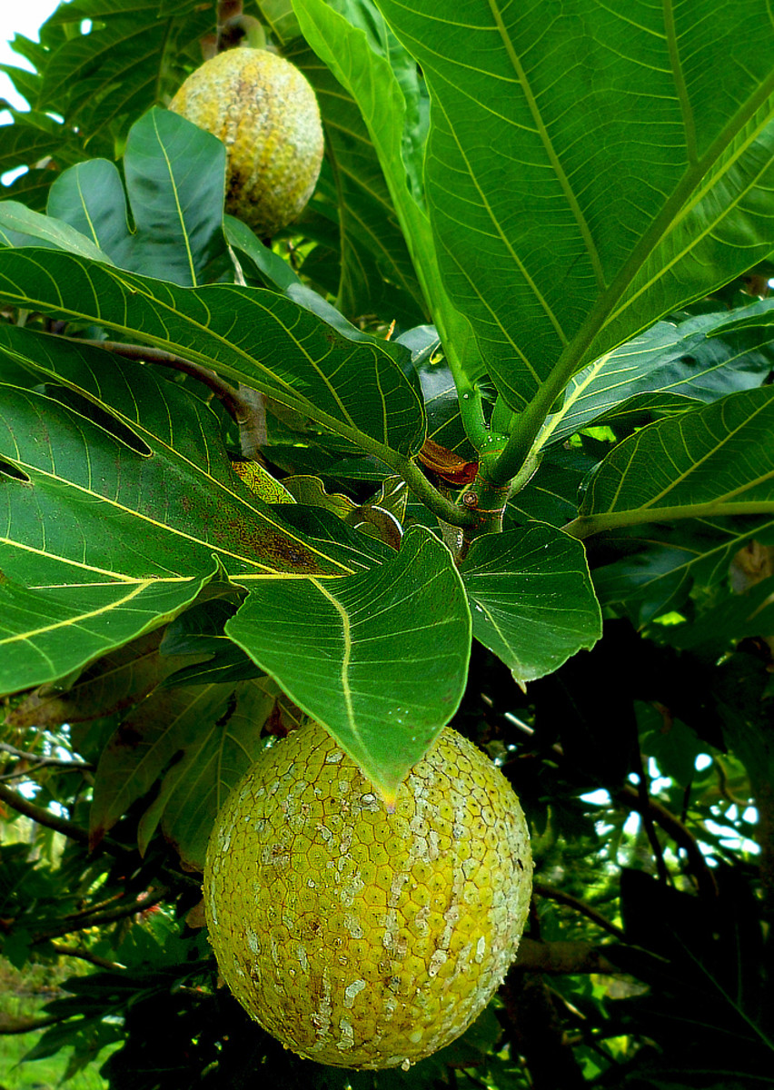 A Tropical Taste of Hawaii: 'Ulu Breadfruit