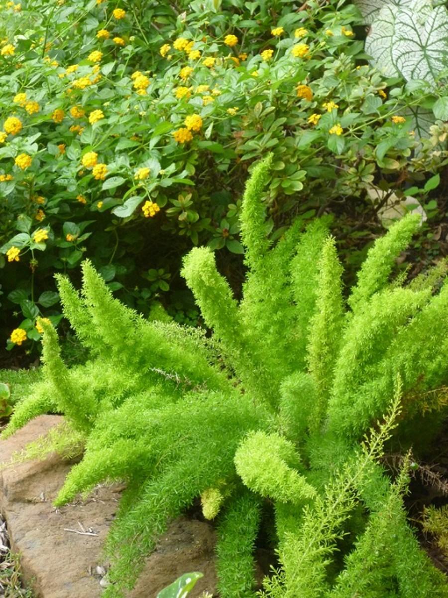 Foxtail fern in landscaping
