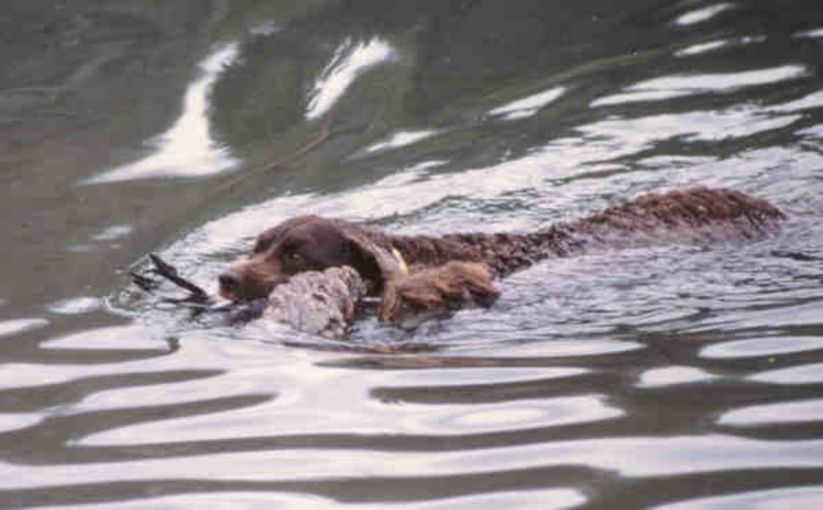 Pictured above is an American Water Spaniel retrieving a duck for their owner.  The dog's coat is naturally waterproof, allowing this breed to swim with a particular gracefulness.
