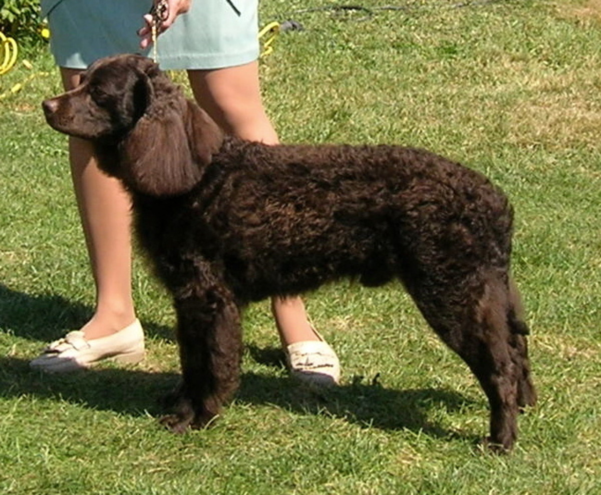 American Water Spaniel participating in a dog show.