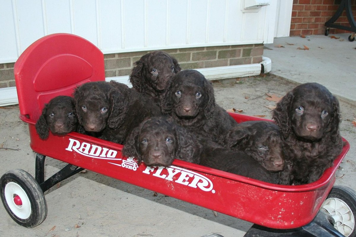 Group of adorable American Water Spaniel puppies.