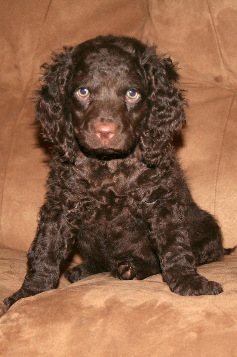 Adorable American Water Spaniel puppy.