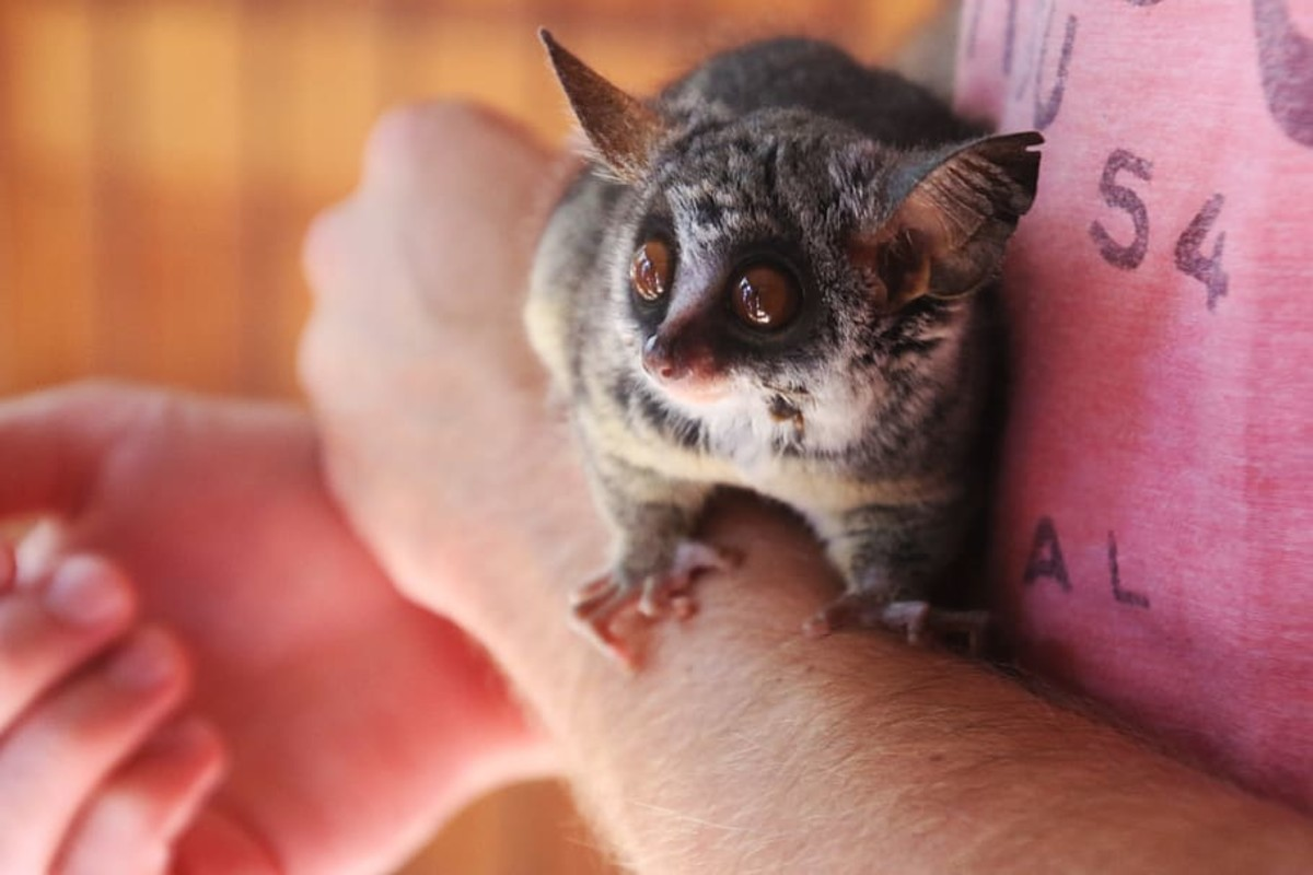 Introduction to Bush Babies as Pets - PetHelpful - By ...