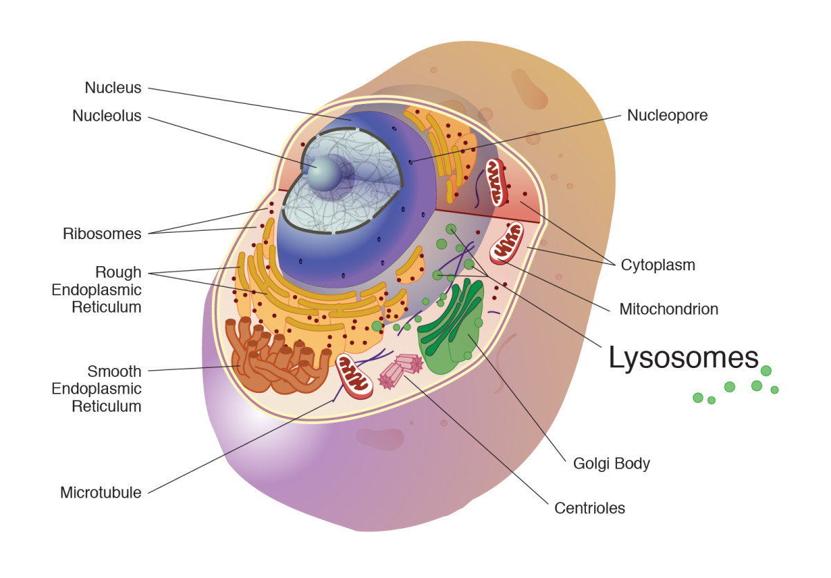 This illustration of a human cell shows some important organelles. The lysosomes play a vital role in autophagy.
