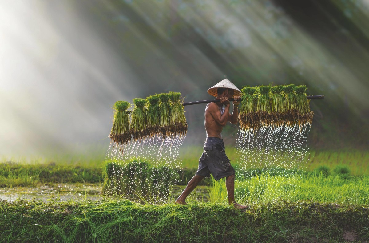 Thanks in part to its adaptability to different climates and versatility as a source of food, rice can be described as the single crop that has fed a greater number of people on this planet than any other.