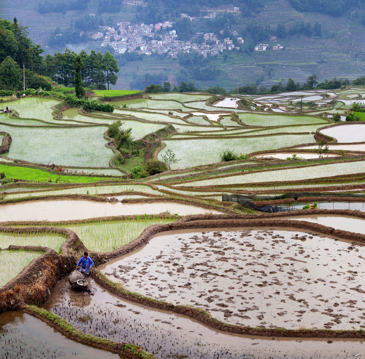 The Oryza sativa species of rice was domesticated in a single region in China about 10,000 years ago, and it was from there that it spread to the different parts of the world.