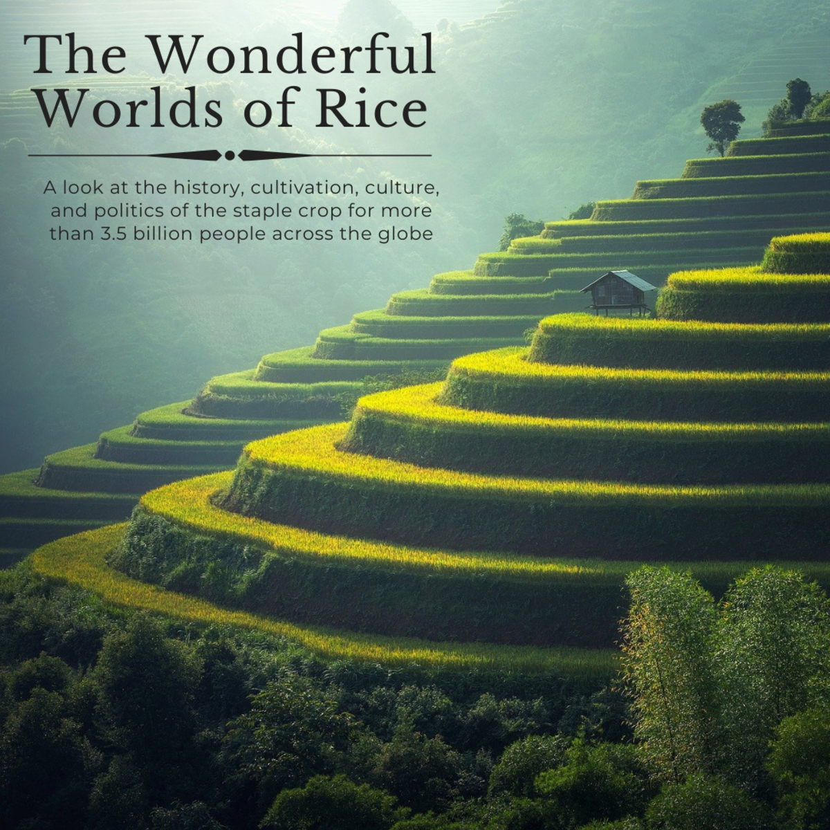 This article will take a deep dive into the origins, cultivation, culture, and politics of rice, the most widely consumed crop on the planet.