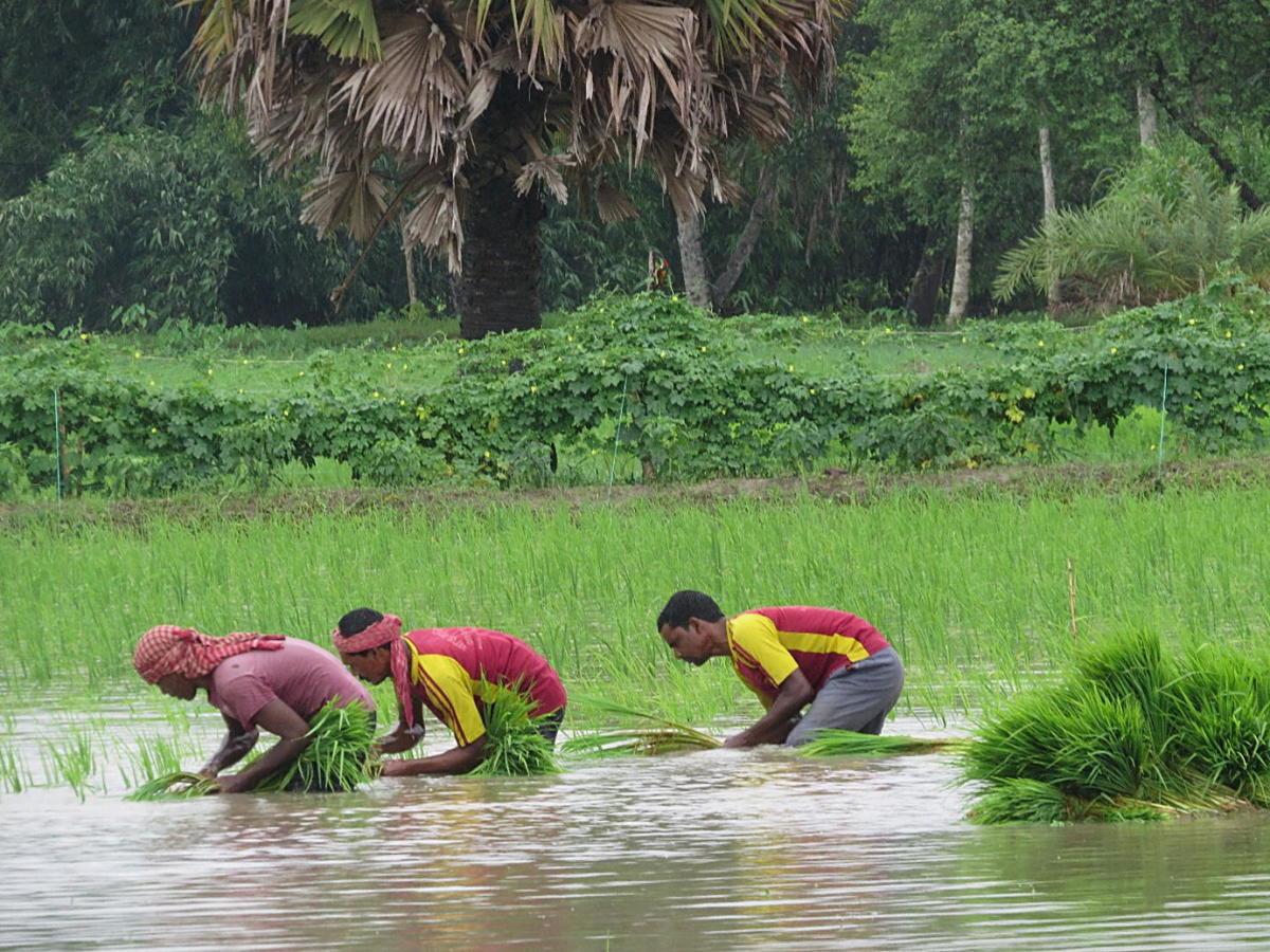 Rice is generally grown in human-made swamps that can be puddled into a fine and slimy consistency whenever sowing is done.