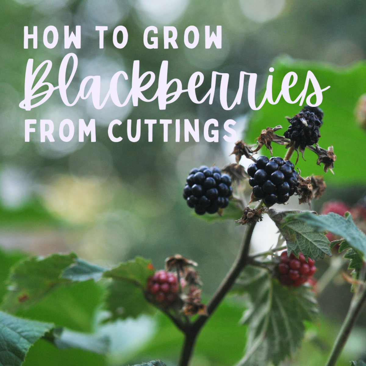 How to grow blackberries from cuttings.