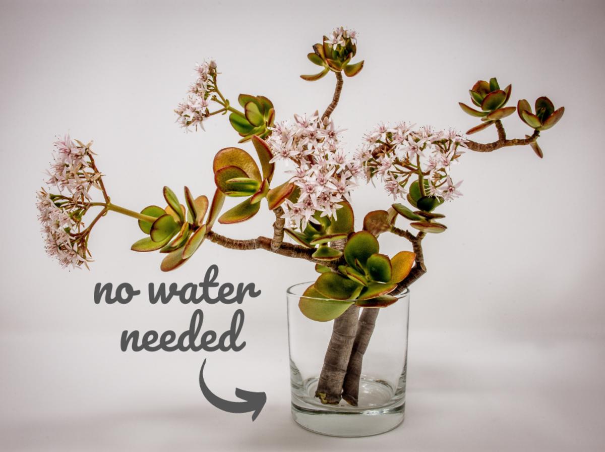 How To Propagate A Jade Plant Dengarden Home And Garden