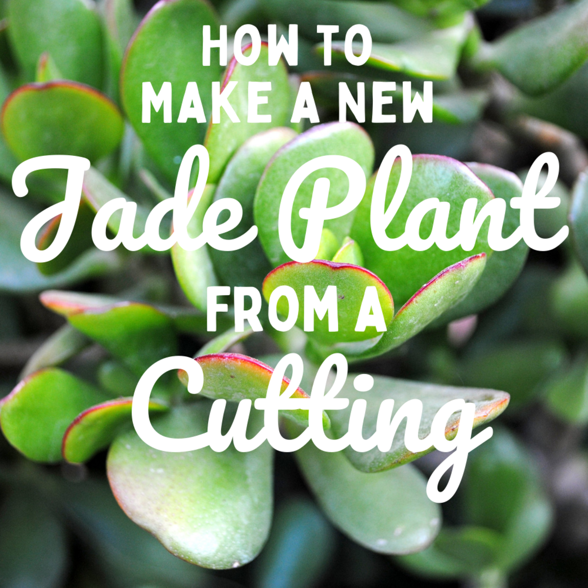 How to Make a New Jade Plant From a Cutting