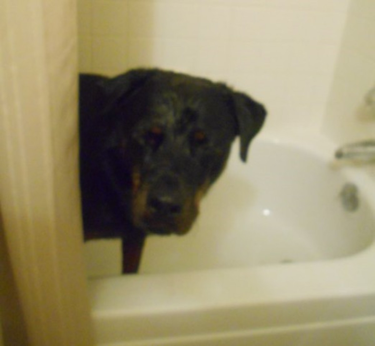 Dog skunk home remedy, dog skunk shampoo