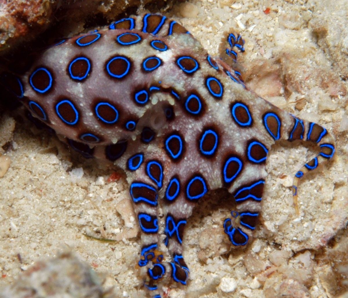The blue-ringed octopus in its natural habitat.