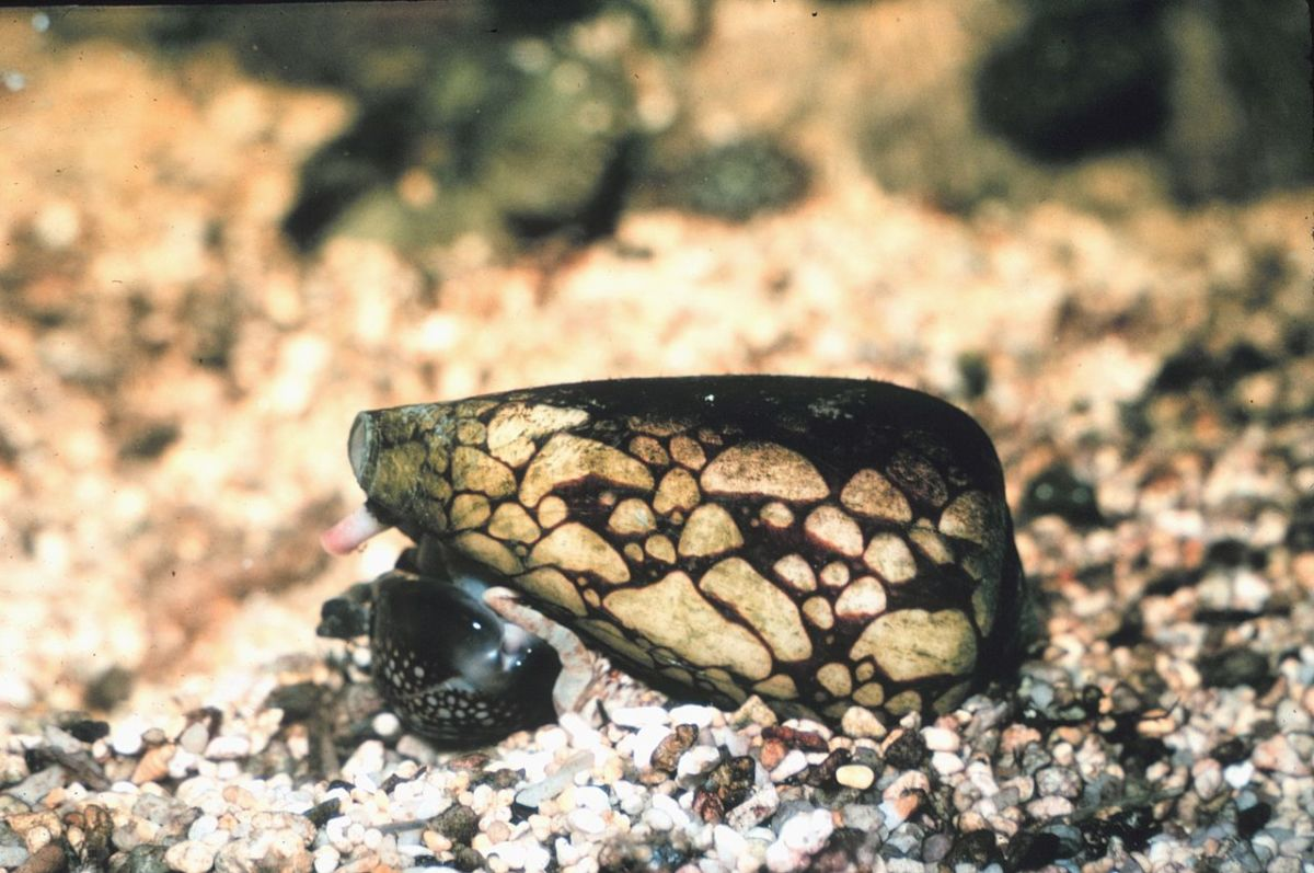The deadly marbled cone snail.