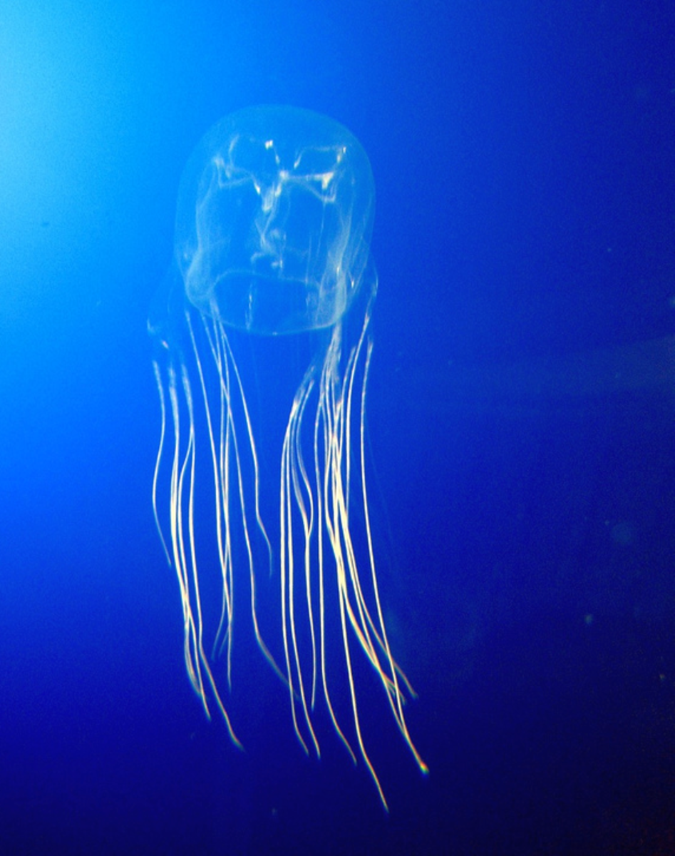 The box jellyfish (world's deadliest animal).