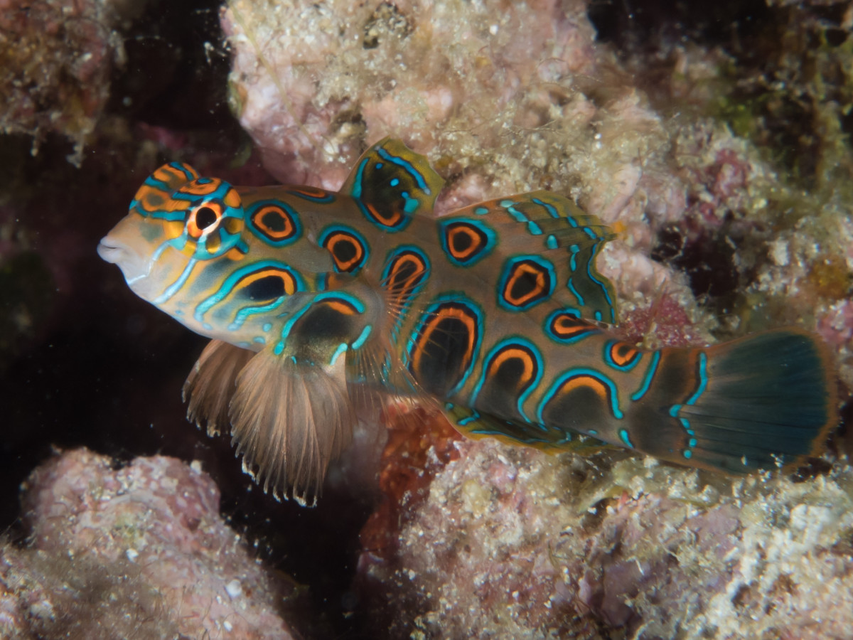 Picturesque Dragonet