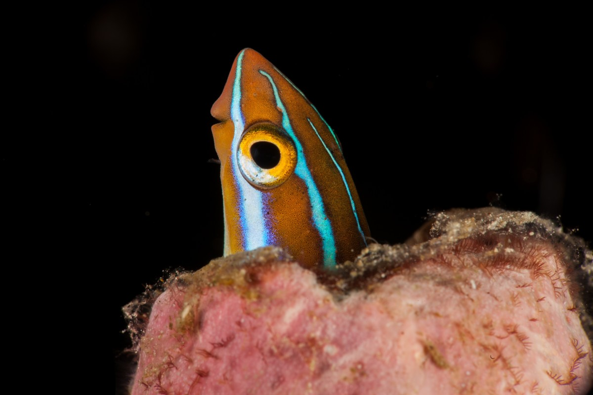 Bluestriped fangblenny hiding in a hole.