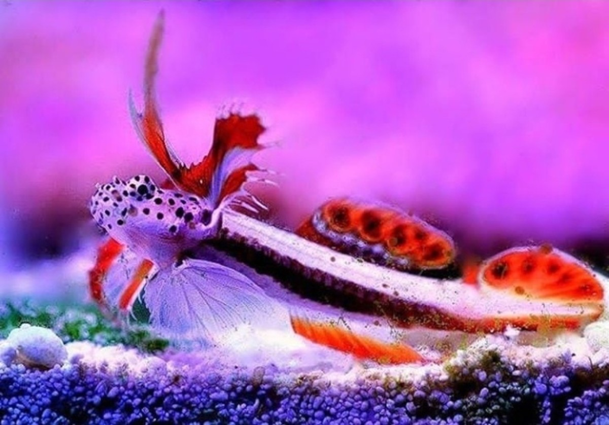 Flaming Prawn Goby