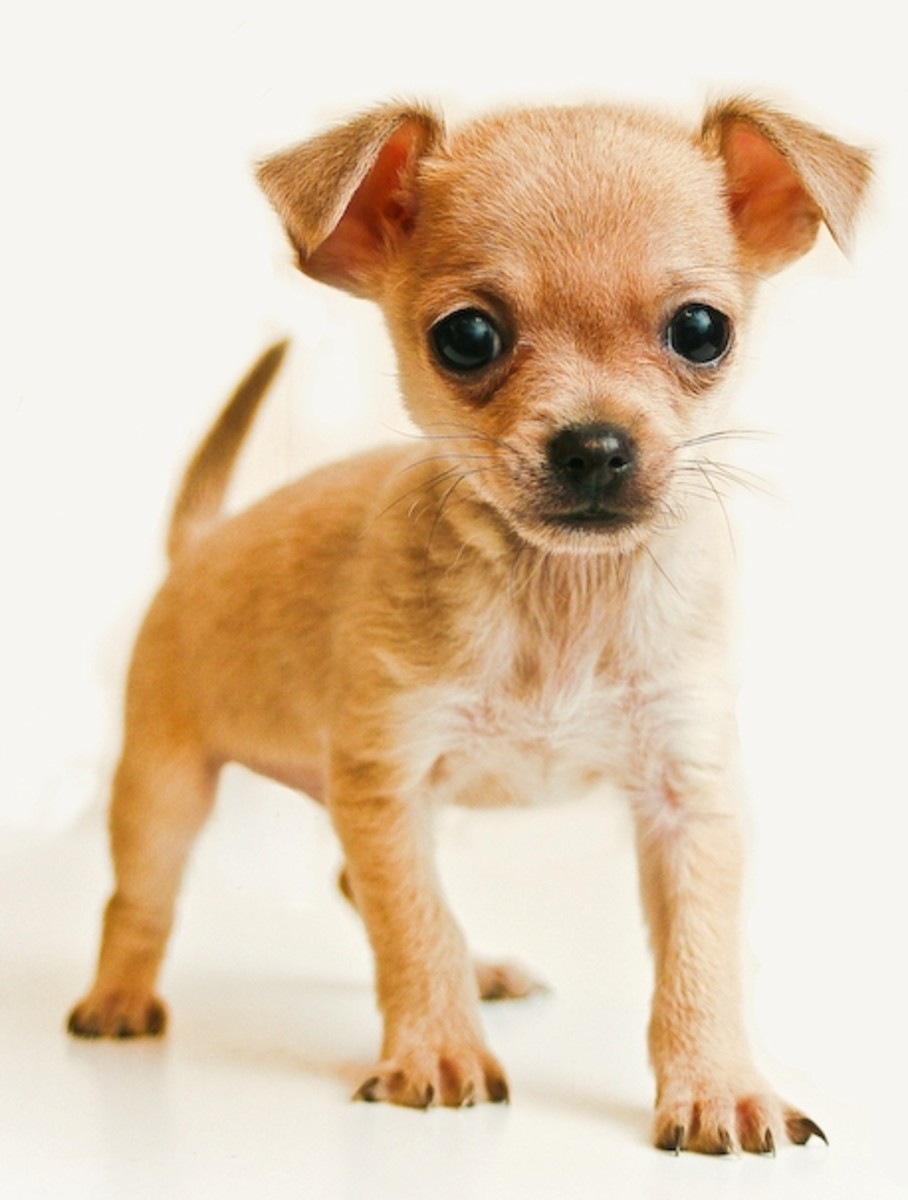 Chihuahua, the most diminuitive of dogs, has become a fashion statement for many social elites.