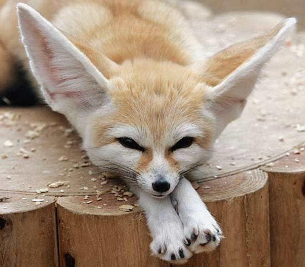 Fennec Fox is the smallest of all the fox.