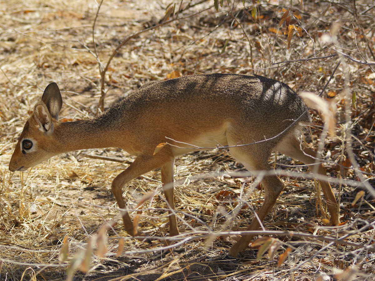 The Damara Dik Dik is the tiniest of all antelopes, named for the sound they make.