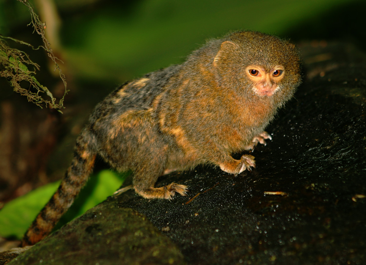 Pygmy Marmoset, the smallest monkey weighs only 4-5 ounces.