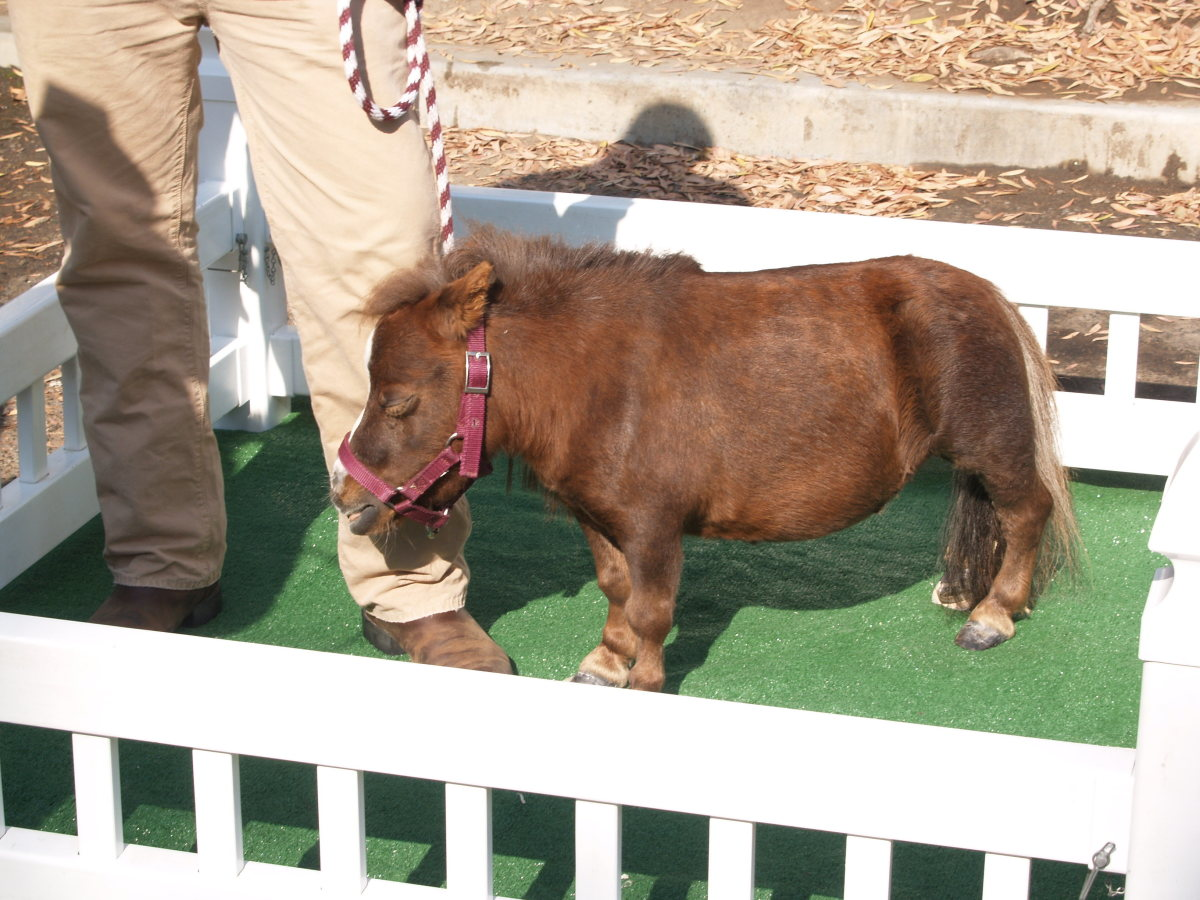 Thumbelina the smallest horse.
