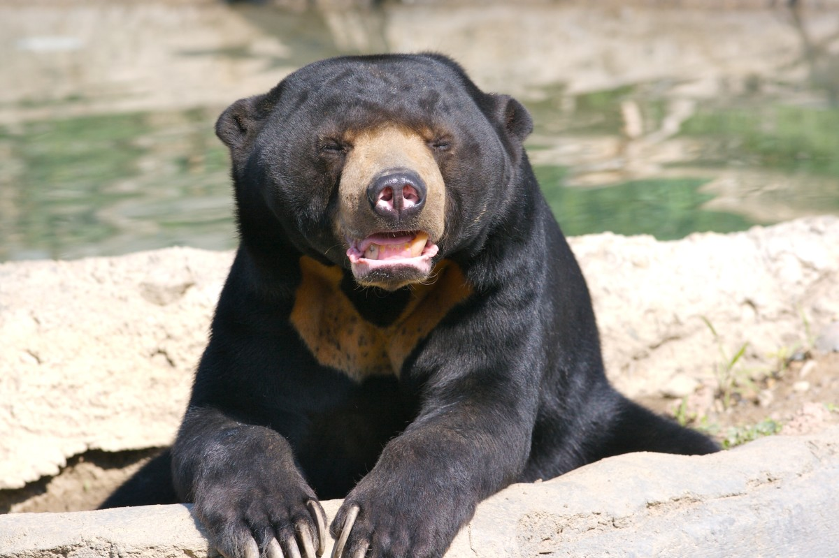 Sun Bear's though not diminuitive, are the smallest of all bears.