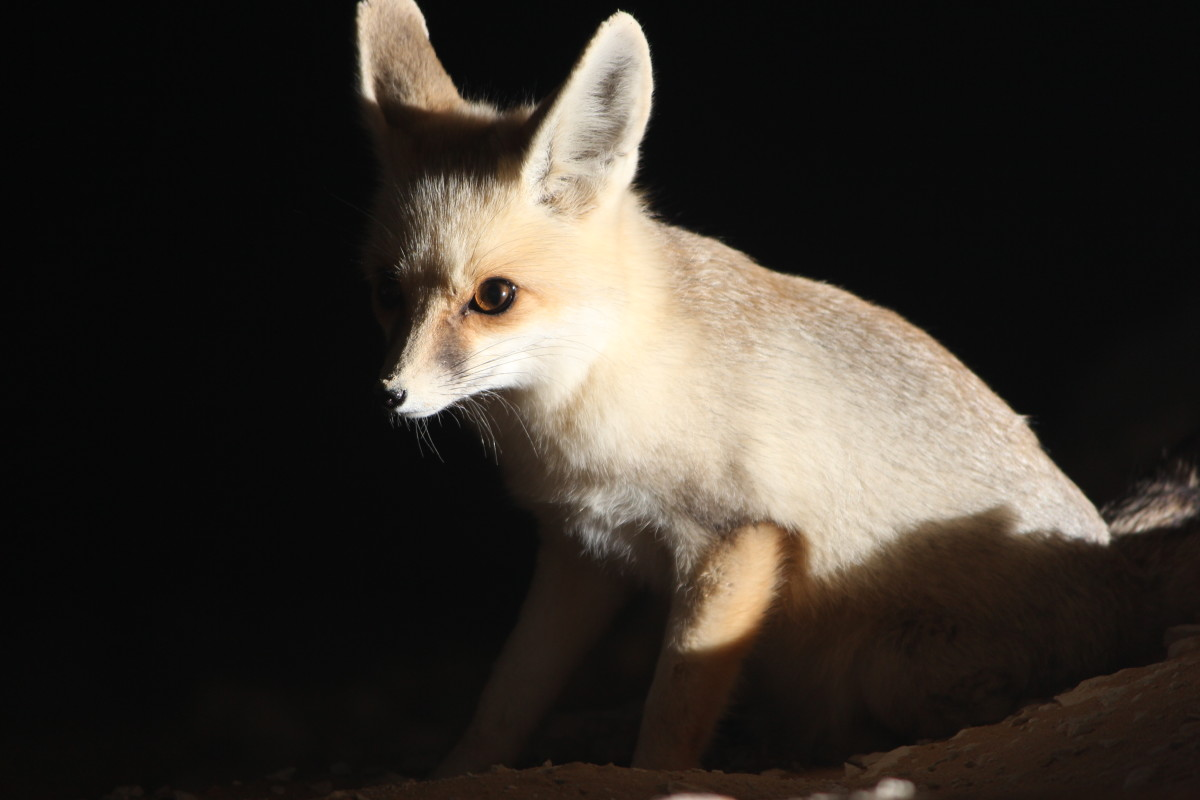 Fennec actually means fox, so the fennec fox literally means the fox fox.