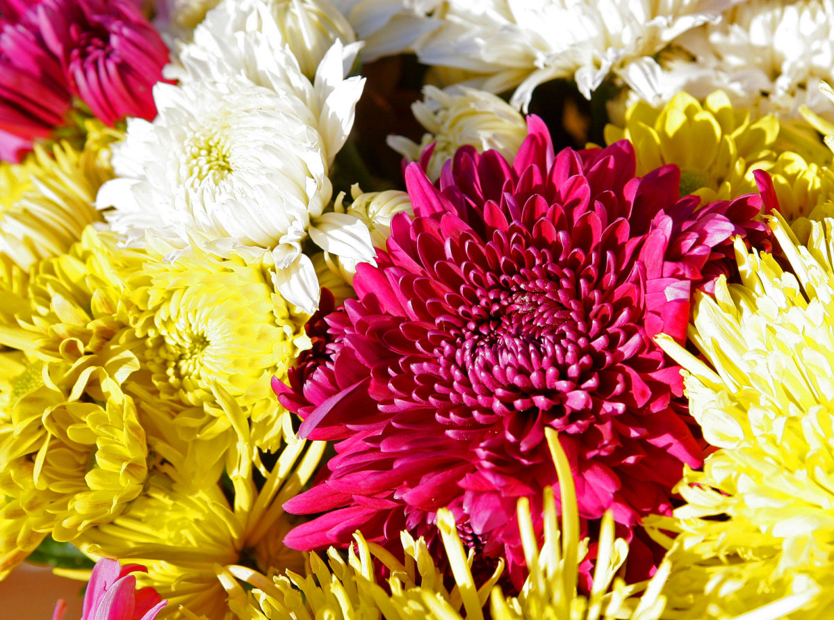 The chrysanthemum flower grows in orange, pink, red, white, and yellow and is a fitting symbol for the varied moods of November.