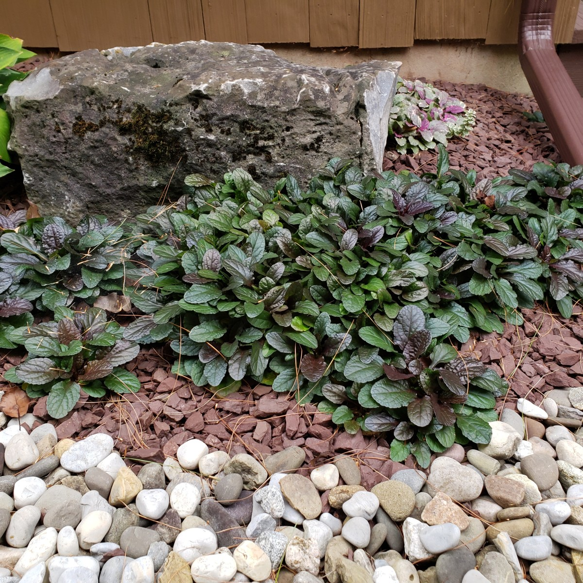 how-to-grow-bugleweed-an-attractive-groundcover
