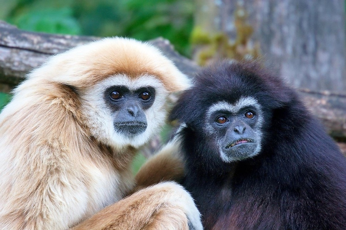 Lar gibbons range from sandy to black in color. Unlike the case in some gibbons, their color doesn't depend on gender.
