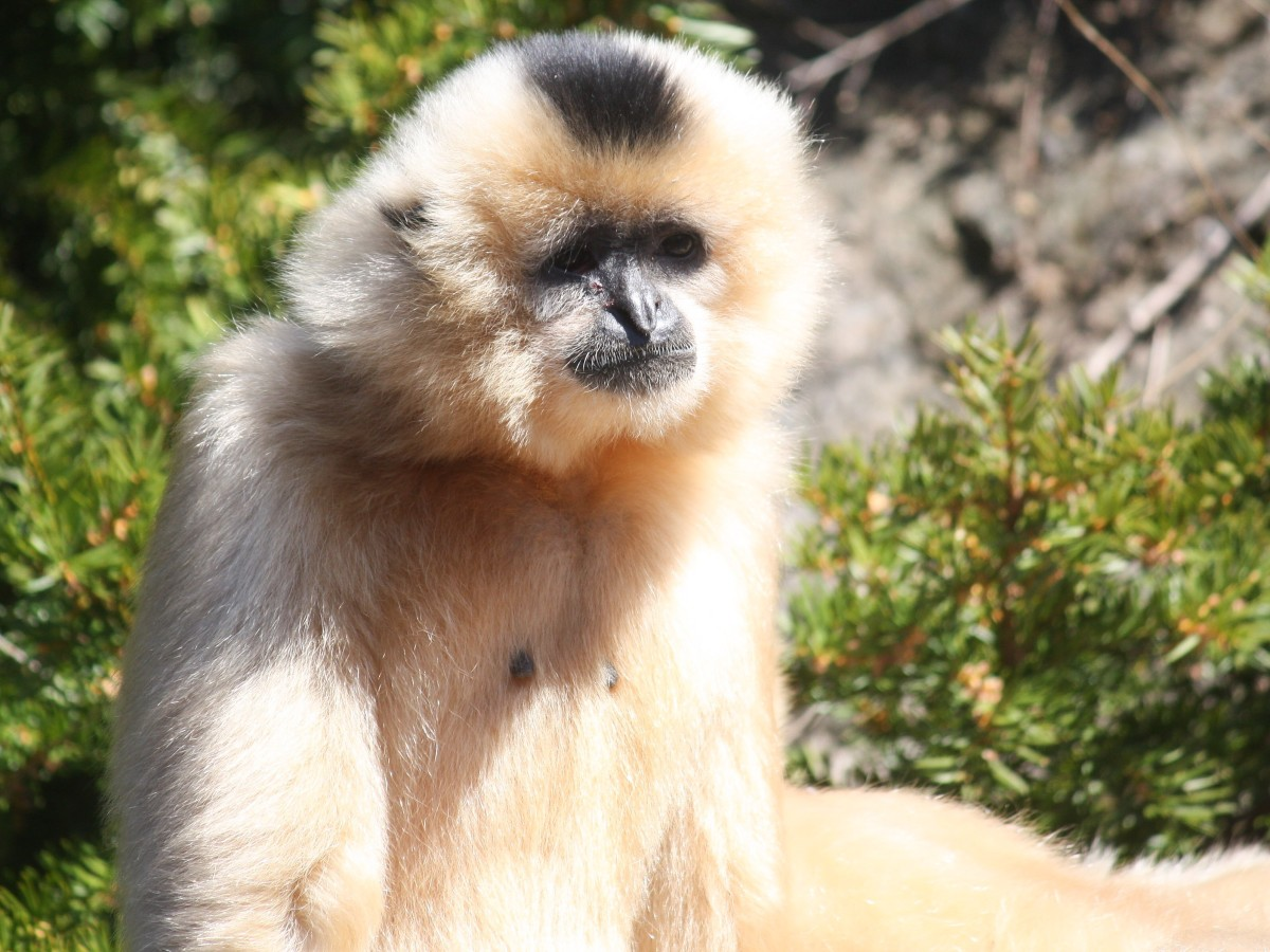 Yellow-cheeked or buff-cheeked gibbon (Nomascus gabriellae)