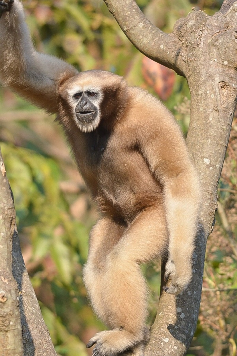 This is a female western hoolock gibbon.