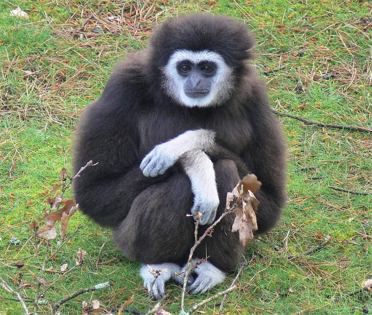 A lar or white-handed gibbon in a zoological park