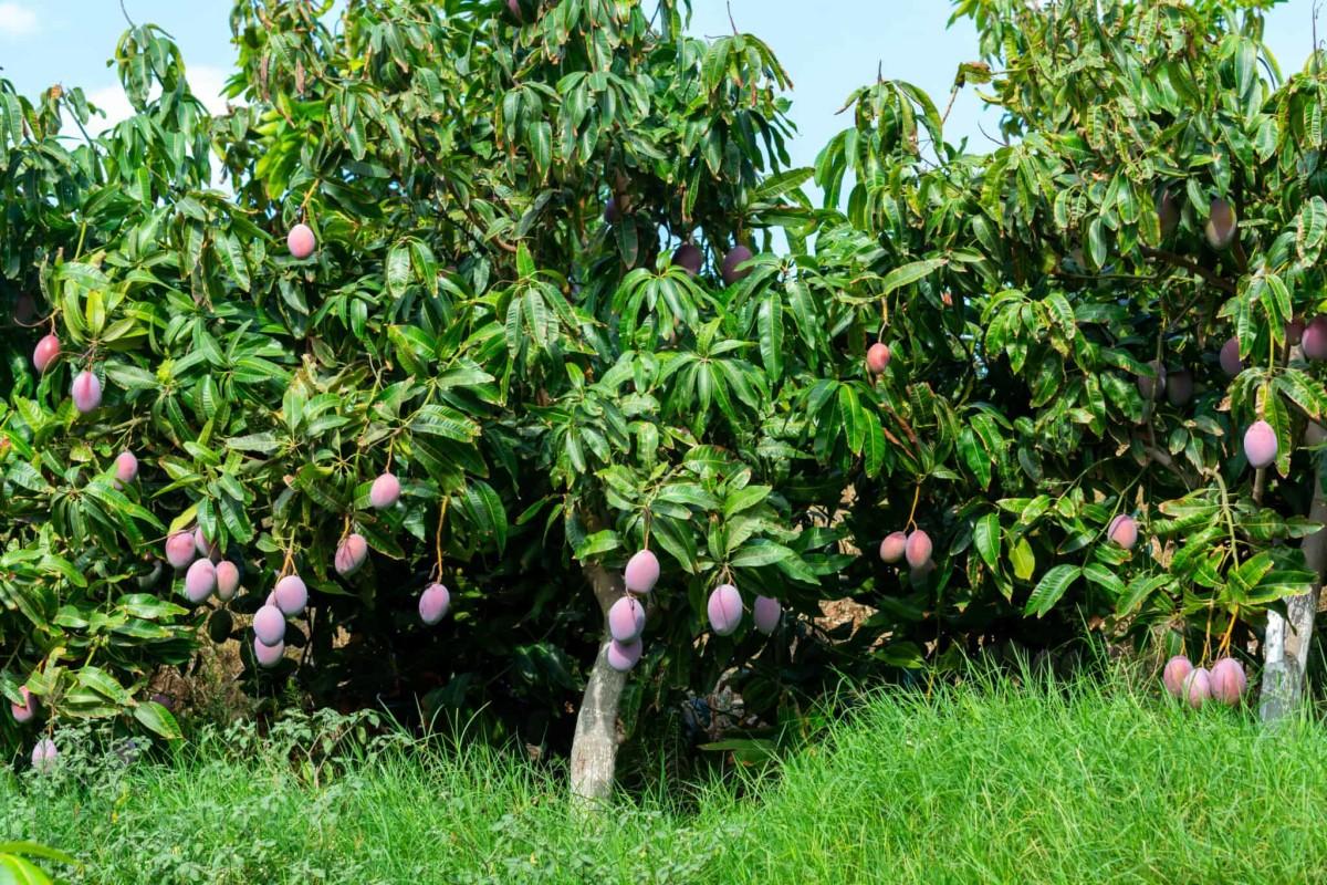 Tommy Atkins Mango Tree