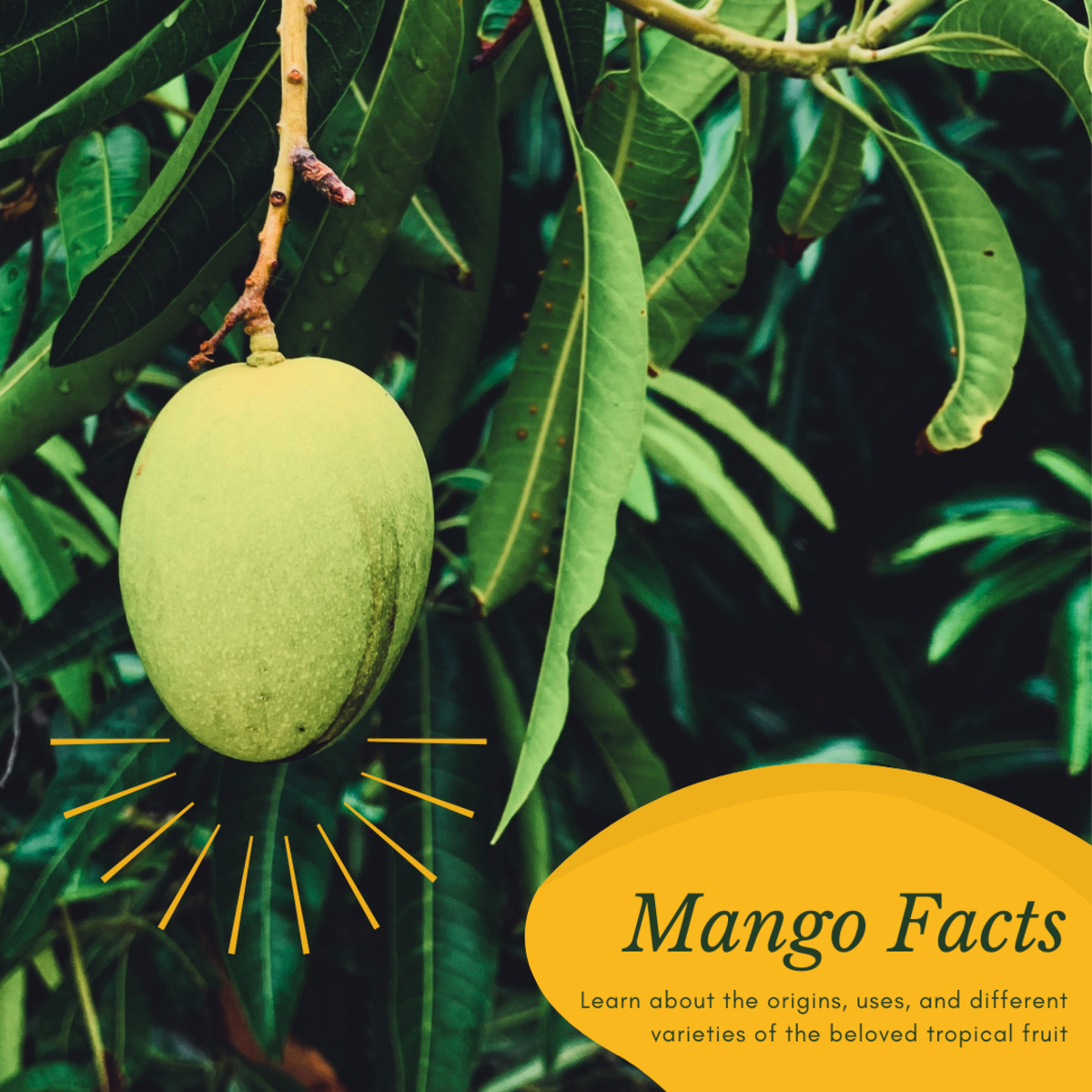 This article will provide a wealth of information about where mangoes came from, what they can look like, and how they can be used.