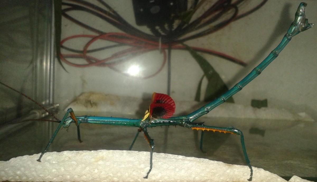 Male Archrioptera fallax