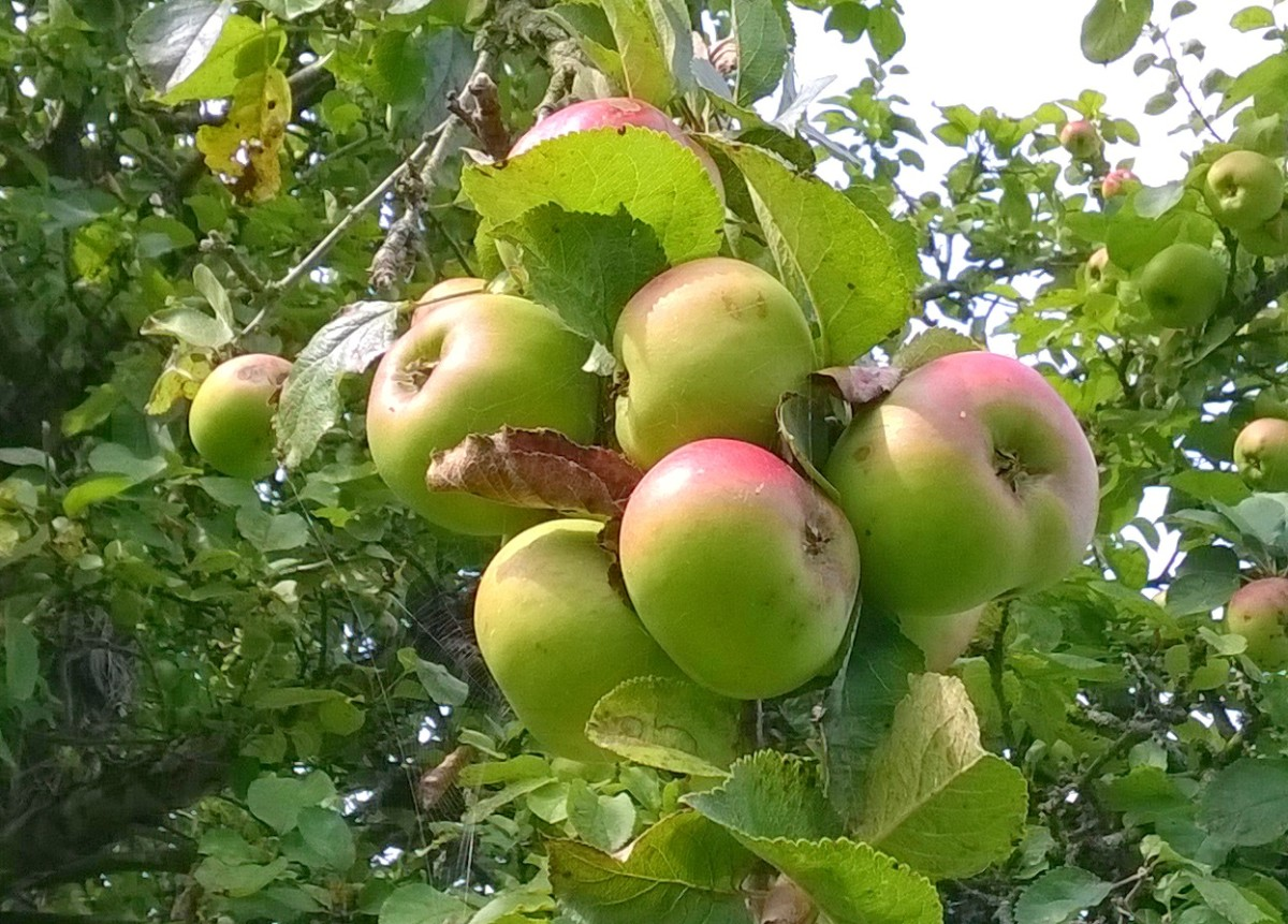 Some nice cooking apples from my garden. I think I'll pick these soon!