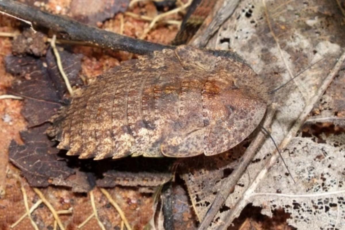 Trilobite Cockroach