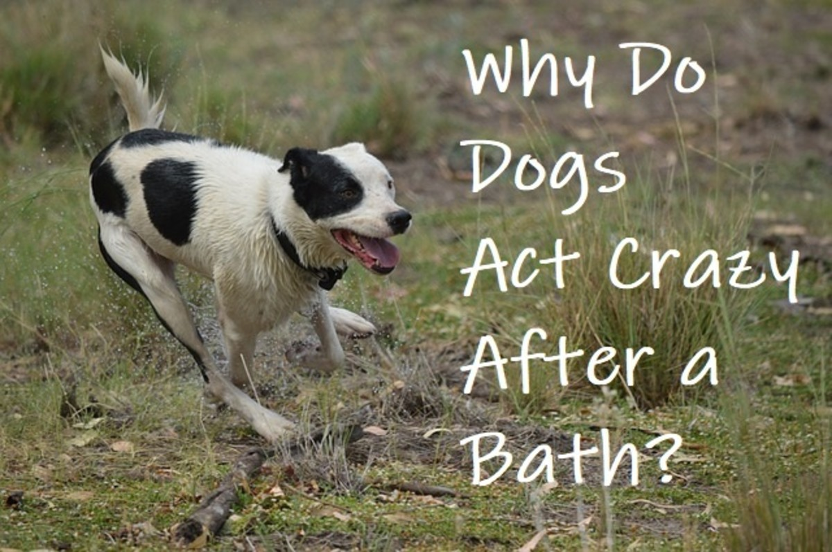 Why Does My Dog Run Like Crazy After a Bath?