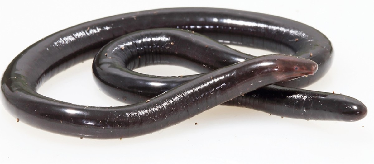 Some people might think that this female Caecilia pulchraserrana is an earthworm until they notice its eye.