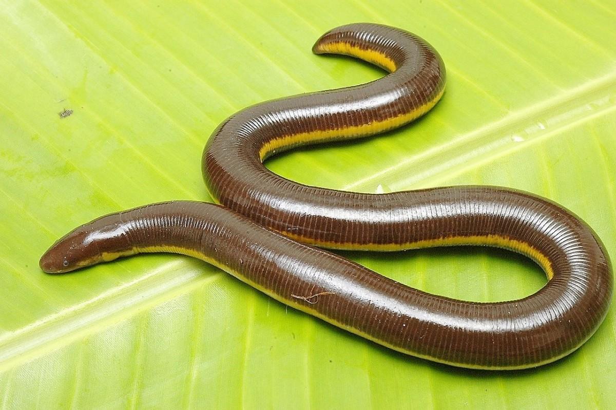 Caecilians: Unusual, Interesting, and Perhaps Venomous Amphibians