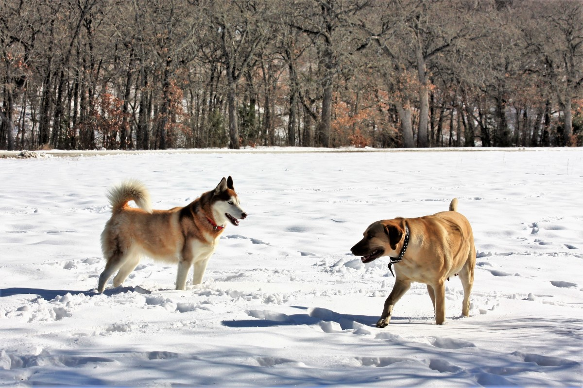 Our Siberian Husky and Yellow Labrador Retriever