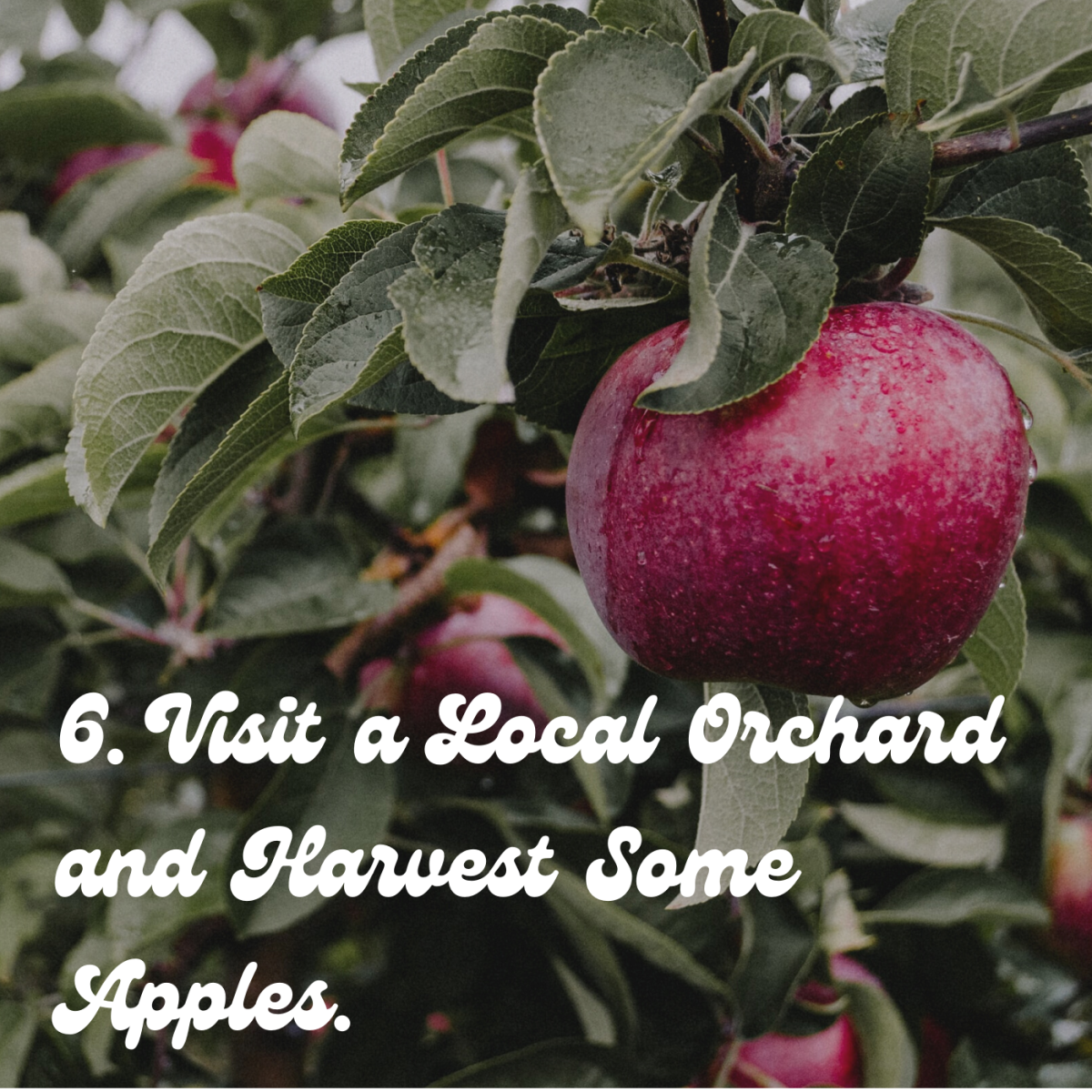 6. Visit a local orchard and harvest some apples.