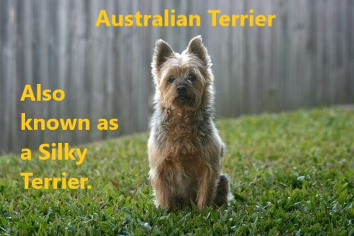 The Silky Terrier: a characterful and lively canine.