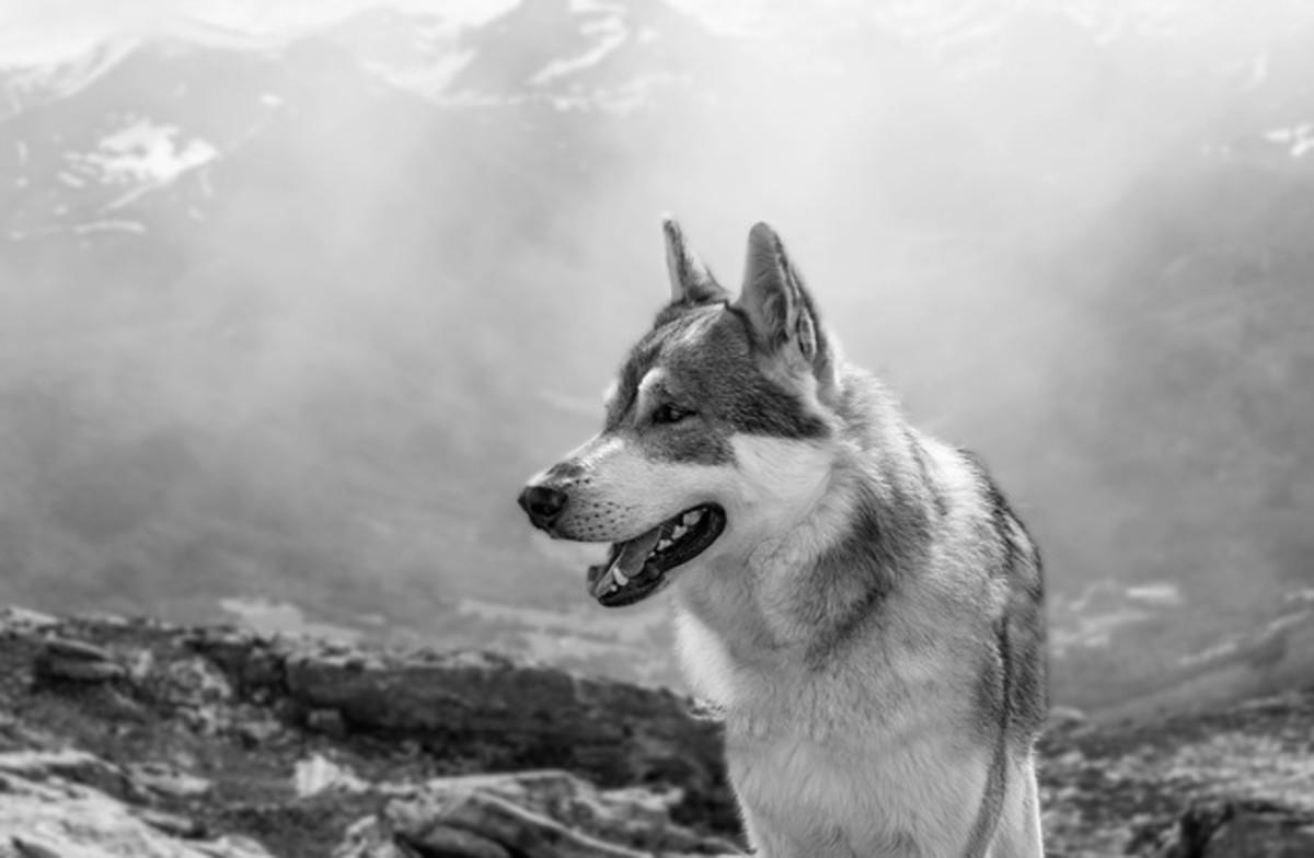 Norway Wolf