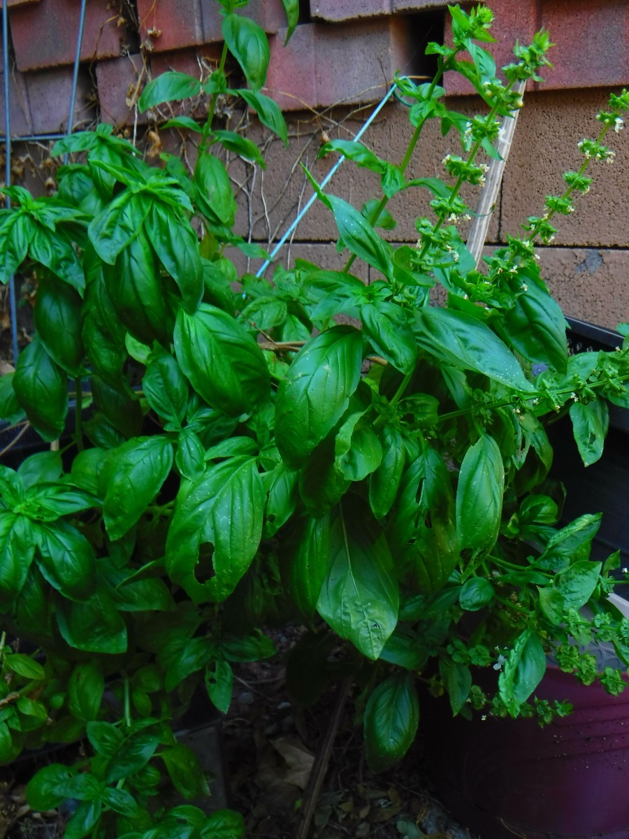 From a single cutting, I have abundant fresh basil.